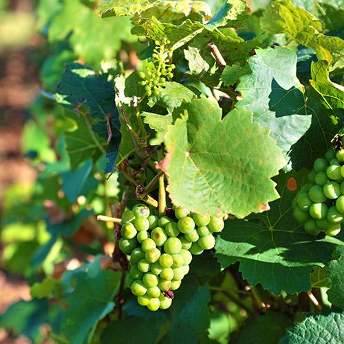 Wine grapes growing in a vineyard