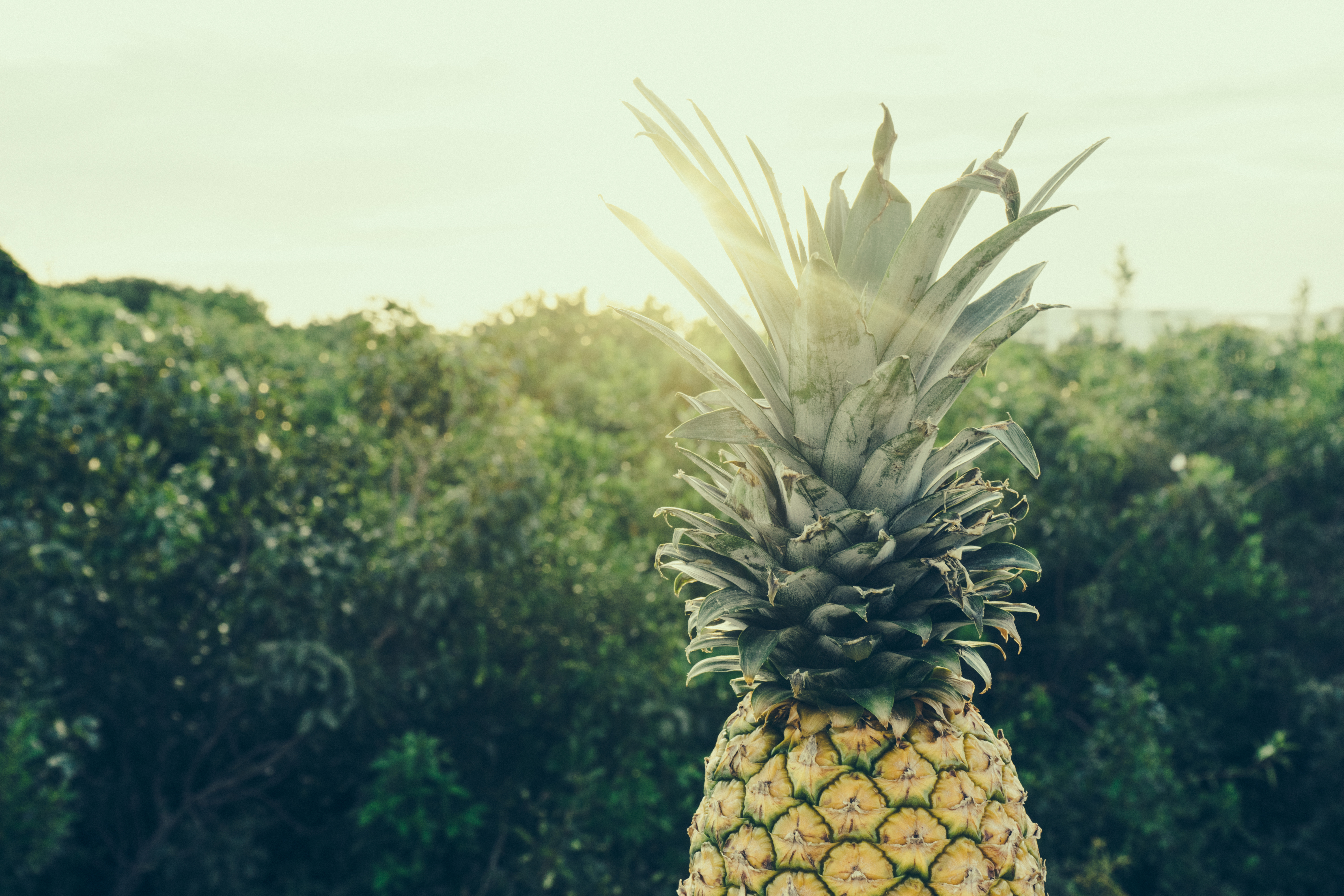 pineapple-supply-co-114440